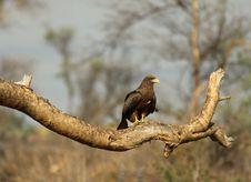 Free Black Kite Royalty Free Stock Image - 32076096