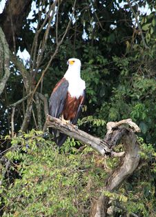 Free African Fish Eagle Royalty Free Stock Images - 32076139
