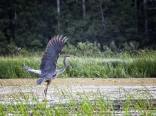 Free Great Blue Heron Stock Images - 32077224