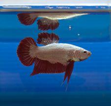 Free Siamese Fighting Fish Stock Photo - 32078010