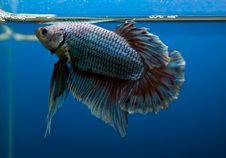 Free Siamese Fighting Fish Stock Photos - 32078023
