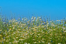 Free Chamomiles And Cornflower Stock Images - 32079024