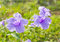 Free Violet Flower In Summer Stock Image - 32077901