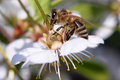 Free Bee On A Cherry-blossom Royalty Free Stock Photo - 32083185