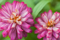 Free Pink Zinnia Flowers Royalty Free Stock Photos - 32084078