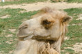 Free Camel Royalty Free Stock Image - 32087456