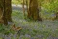 Free Oak Coppice Wood, Dartmoor Stock Photo - 32088330