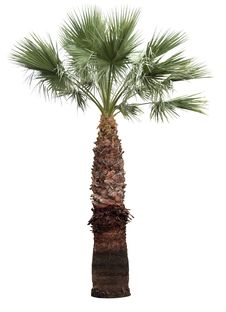 Free Isolated Palm-tree Stock Image - 32080251