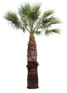 Free Isolated Palm-tree Stock Image - 32080251
