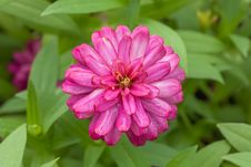 Free Fresh Magenta Zinnia Flower In The Garden Royalty Free Stock Image - 32084036