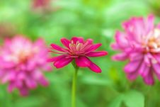 Vivid Magenta Flower In The Garden Stock Photo