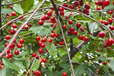 Free Cherry Tree Royalty Free Stock Photography - 32086027
