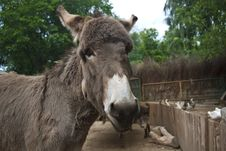 Free Gray Donkey Royalty Free Stock Image - 32086146