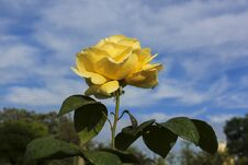 Free Beautiful Single Yellow Rose Stock Image - 32087231