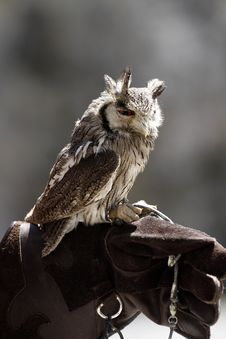 White Faced Scops Owl Stock Images