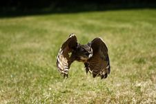 Free Flying Eagle Owl Royalty Free Stock Image - 32087946