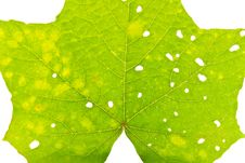 Free Green Leaves With Holes Royalty Free Stock Photo - 32089415