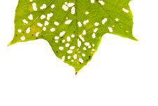 Free Green Leaves With Holes Stock Images - 32089444