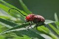 Free Red Milkweed Beetle On Thin Leaf Stock Photography - 32095862