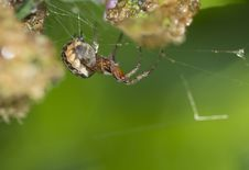 Free Spider &x28;Araneus&x29;. Stock Photo - 32090130