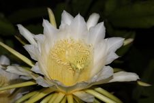 Free Dragon Fruit Flower Stock Photography - 32090942