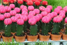Free Cactus Royalty Free Stock Images - 32095039