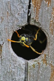 Free Upside Down Emerging Wasp Royalty Free Stock Photos - 32095888