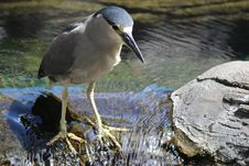 Free Black Crowned Night Heron Stock Images - 32096504