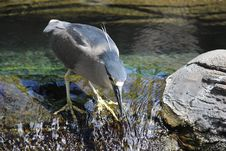 Free Black Crowned Night Heron Stock Photography - 32096512