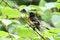 Free American Redstart Warbler Royalty Free Stock Photos - 32090238