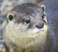 Free Dwarf Otter 2 Royalty Free Stock Photography - 3213267