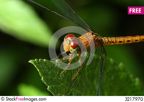 Free Yellow Dragonfly Stock Photo - 3217970