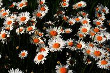 Free Spring Daisies Royalty Free Stock Photo - 3210135