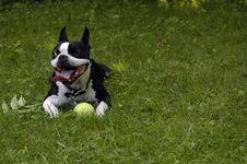 Free One Eyed Boston Terrier Stock Image - 3210561