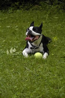 One Eyed Boston Terrier Royalty Free Stock Photography