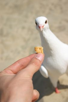 Feeding Dove With Cookie Stock Photo