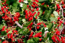 Beads Of Red Currant Royalty Free Stock Photography