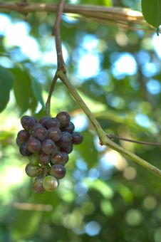 Free Wild Grape In The Morning Stock Images - 3211814