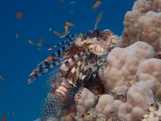 Free Lionfish Royalty Free Stock Photography - 3211997