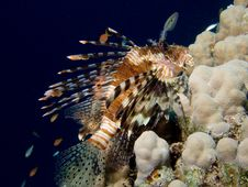 Free Lionfish Dark Stock Photography - 3212012