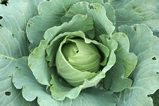 Free Cabbage Close-up Stock Photos - 3212523
