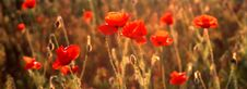 Free Red Poppies Stock Photo - 3212930
