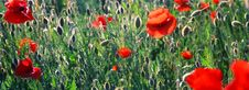 Free Red Poppies Stock Photo - 3212990