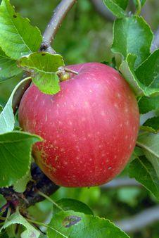 Free Apple Stock Photo - 3213600