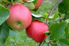 Free Apples Royalty Free Stock Photography - 3213617