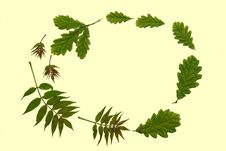 Free Ash And Oak Leaves Stock Photography - 3213692