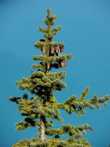 Free Pine Tree Turquoise Stock Photos - 3214003