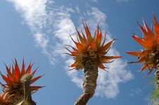 Free Red Cactus And Blue Sky Royalty Free Stock Image - 3214536