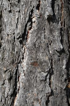 Free Texture Of Bark Of Old Pine Royalty Free Stock Photo - 3214655