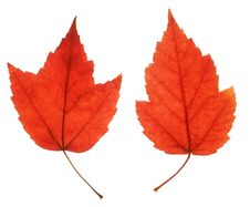 Free Two Red Maple Leaves Royalty Free Stock Photography - 3216197